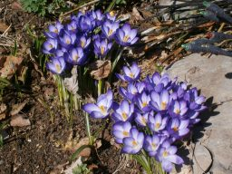 Spring Crocuses, member Ike Partington's garden, April 2020