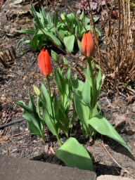 Liberation75 Tulips emerging in Carole Bowen-Kaszel's garden, May 2020