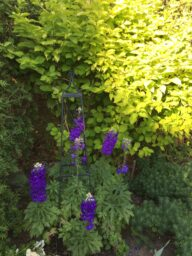 Delphinium backed by chartreuse Mock Orange bush, Gloria Timmons' summer garden 2020